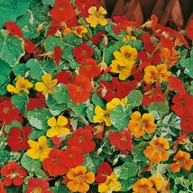 Латинка-Nasturtium Alaska mix;Jewel mix