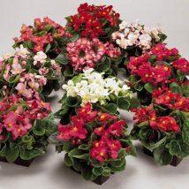 Бегония - Begonia Semperflorens Ambassador