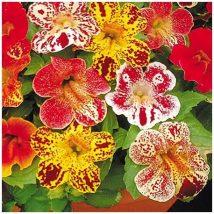 Мимулус, Клоунско цвете (Mimulus)